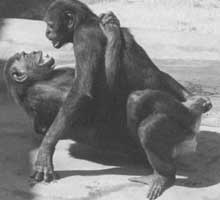 Homosexuality in Animals: Two female bonobos engaging in lesbian sex.