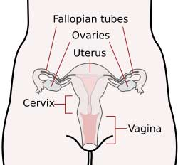 The Female Reproductive System from Wikipedia. Fallopian Tubes, Ovaries, Uterus, Cervix and Vagina
